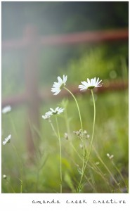 Daisies by Amanda Creek Photography